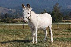 miniature donkey standing
