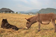 miniature donkeys relaxing